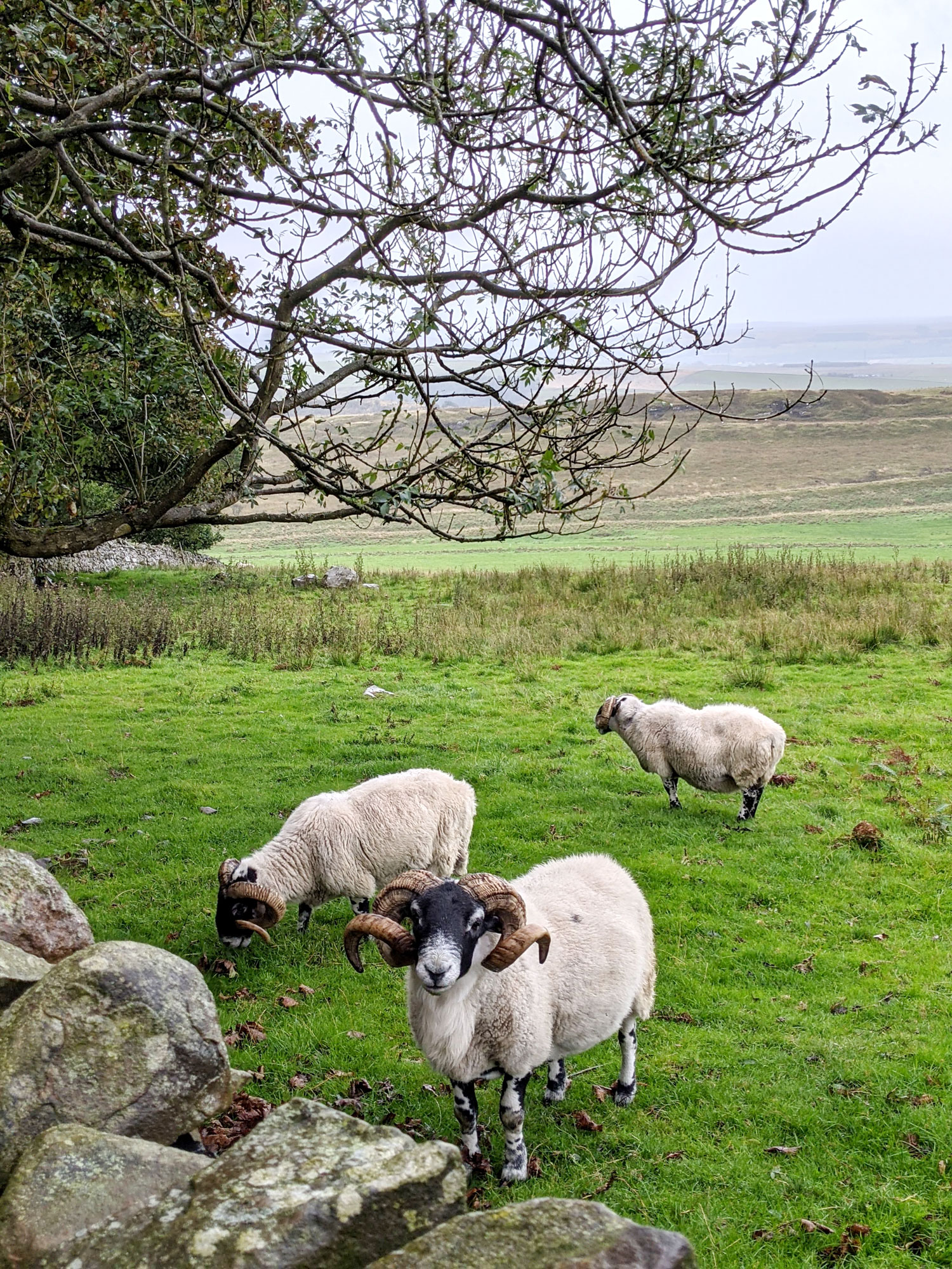 West-Coast-and-Hadrians-Wall-Path-Route-sheep